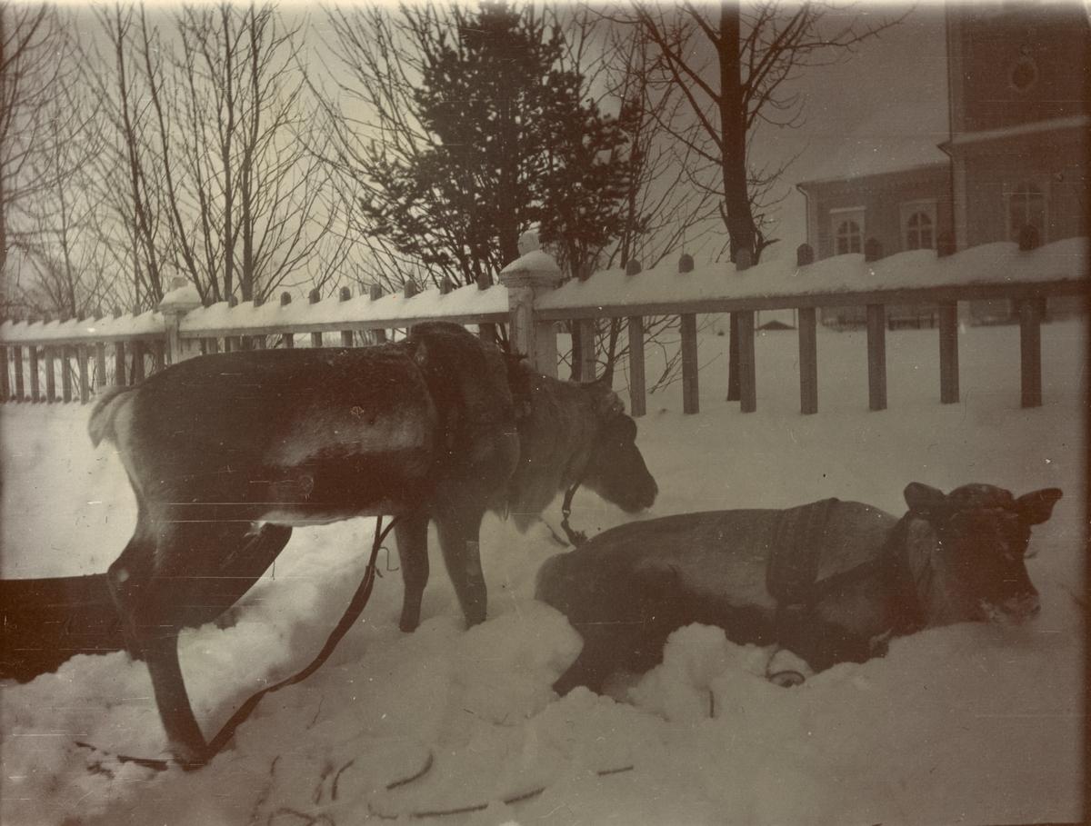 Renar i vinterlandskap, Smålands husarregemente K 4 på vinterövning i Norrbotten omkring 1910.