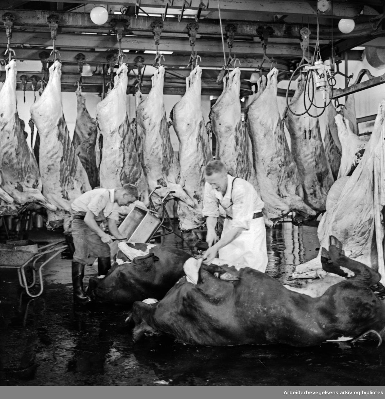 Fellesslakteriet: Kuer slaktes p.g.a. tørkesommeren. Juli 1959