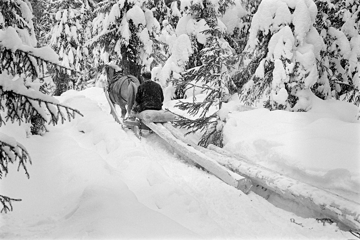 Tømmerkjøring i Nordre Osen i februar 1980.  Fotografiet er tatt på en snøpakket sledeveg i forholdsvis tett granskog.  Bildt viser tømmerkjøreren Ole Rismyr (1931-1984) fra Slettås i Trysil og hesten hans, en fjording, skrått bakfra.  Rismyr slepekjørte en del barkete tømmerstokker med bukken fra en tømmerrustning som «stutting».  Kjørekaren satt på en høysekk fremst på lasset.  Han var kledd i mørke vadmelsklær og hadde skjoldlue på hodet. Fotografiet er tatt i forbindelse med opptakene til fjernsynsfilmen «Fra tømmerskog og ljorekoie», som ble vist på NRK 1. mai 1981.  Ettersom poenget med denne filmen var å synliggjøre strevet i tømmerskogen i den førmekaniserte driftsfasen, viser den driftsprosedyrer og redskap som bare noen få veteraner fortsatt brukte på opptakstidspunktet.