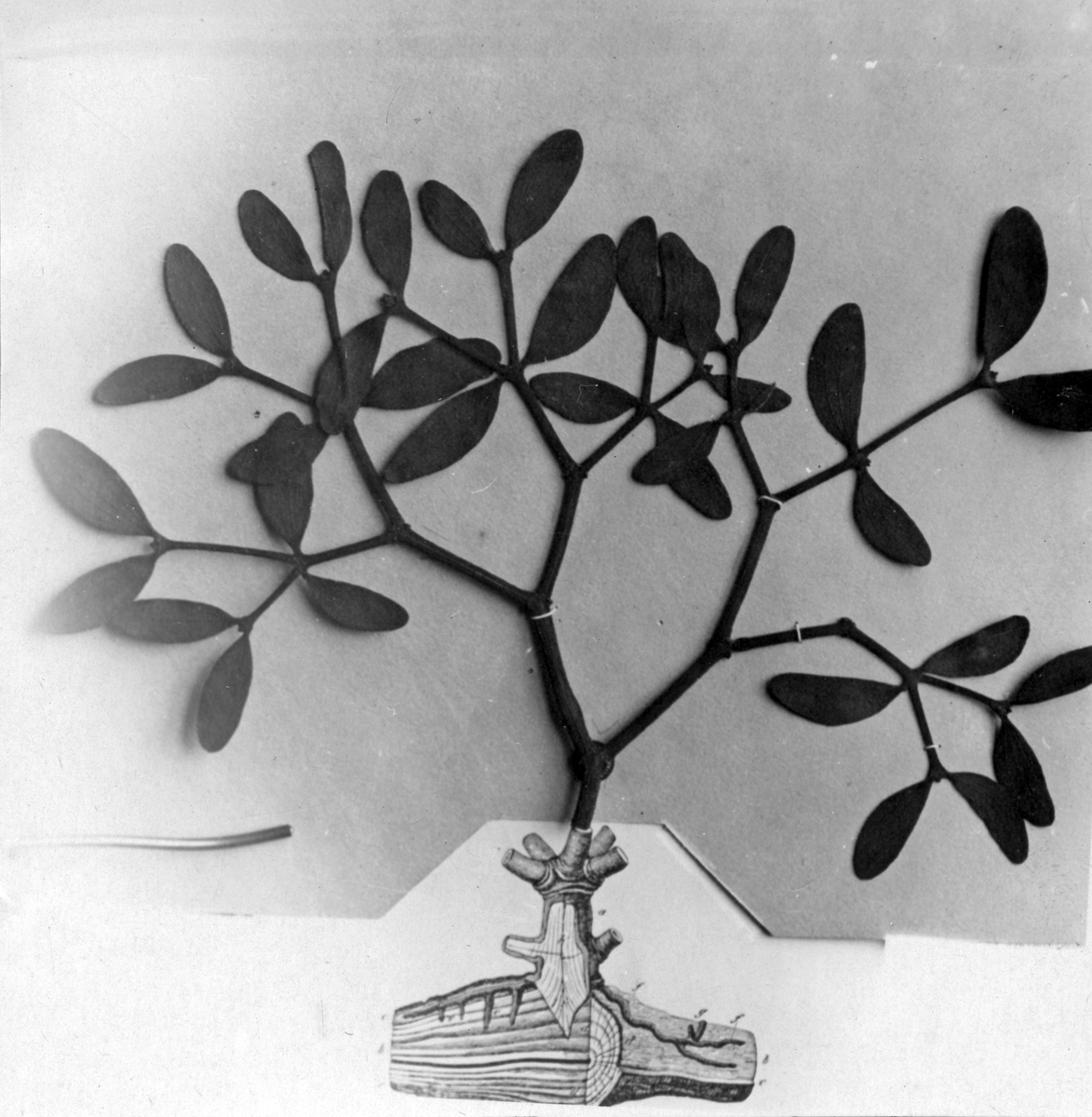Teckning mistel med snyltrötter