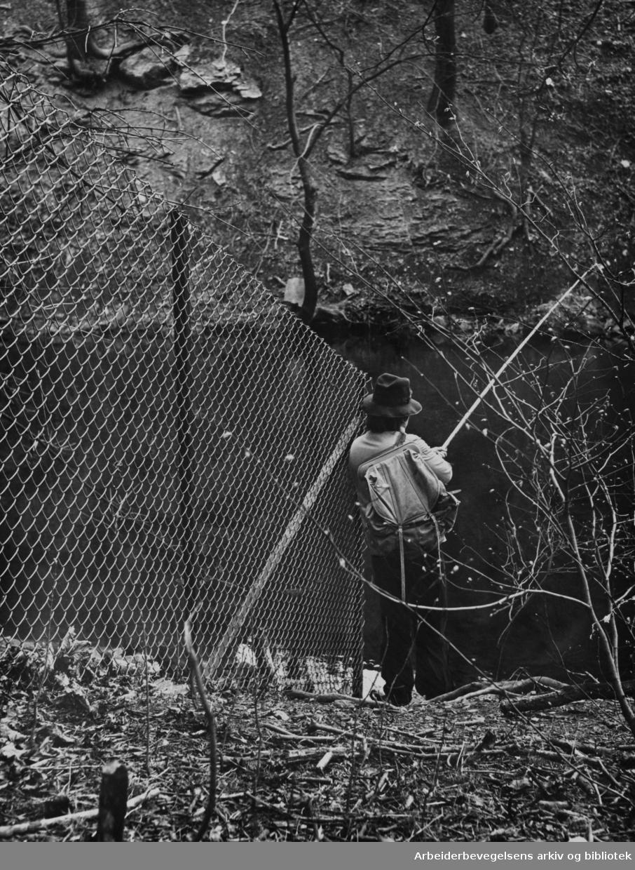 Akerselva ved Bjølsen Valsemølle. Mai 1973
