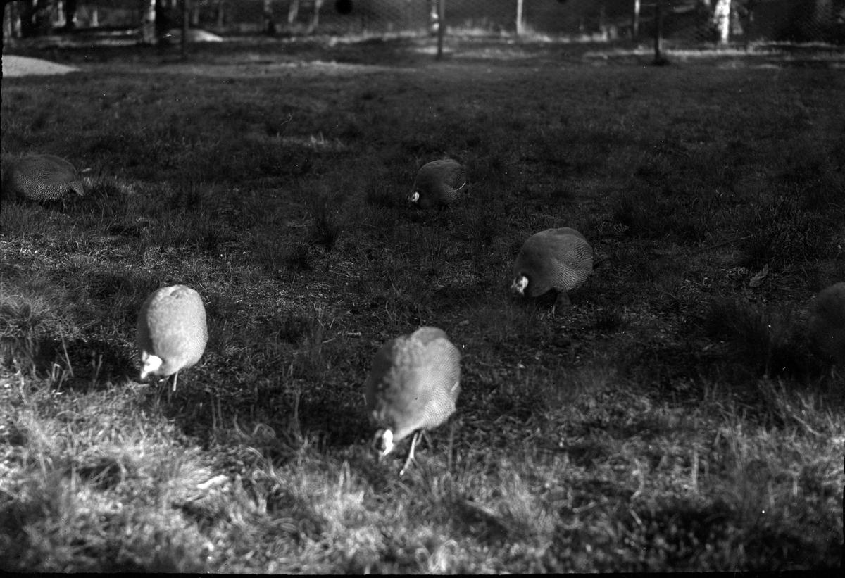 Fem pärlhöns på en gräsmatta.