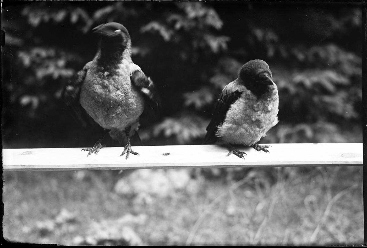 Två kråkor sitter på en planka.