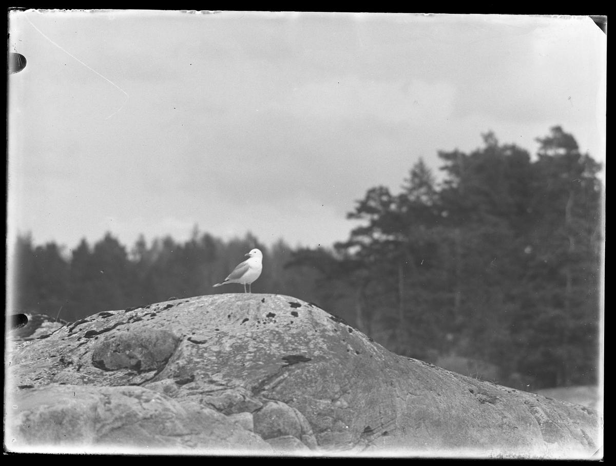 En mås fotograferad på en klippa.