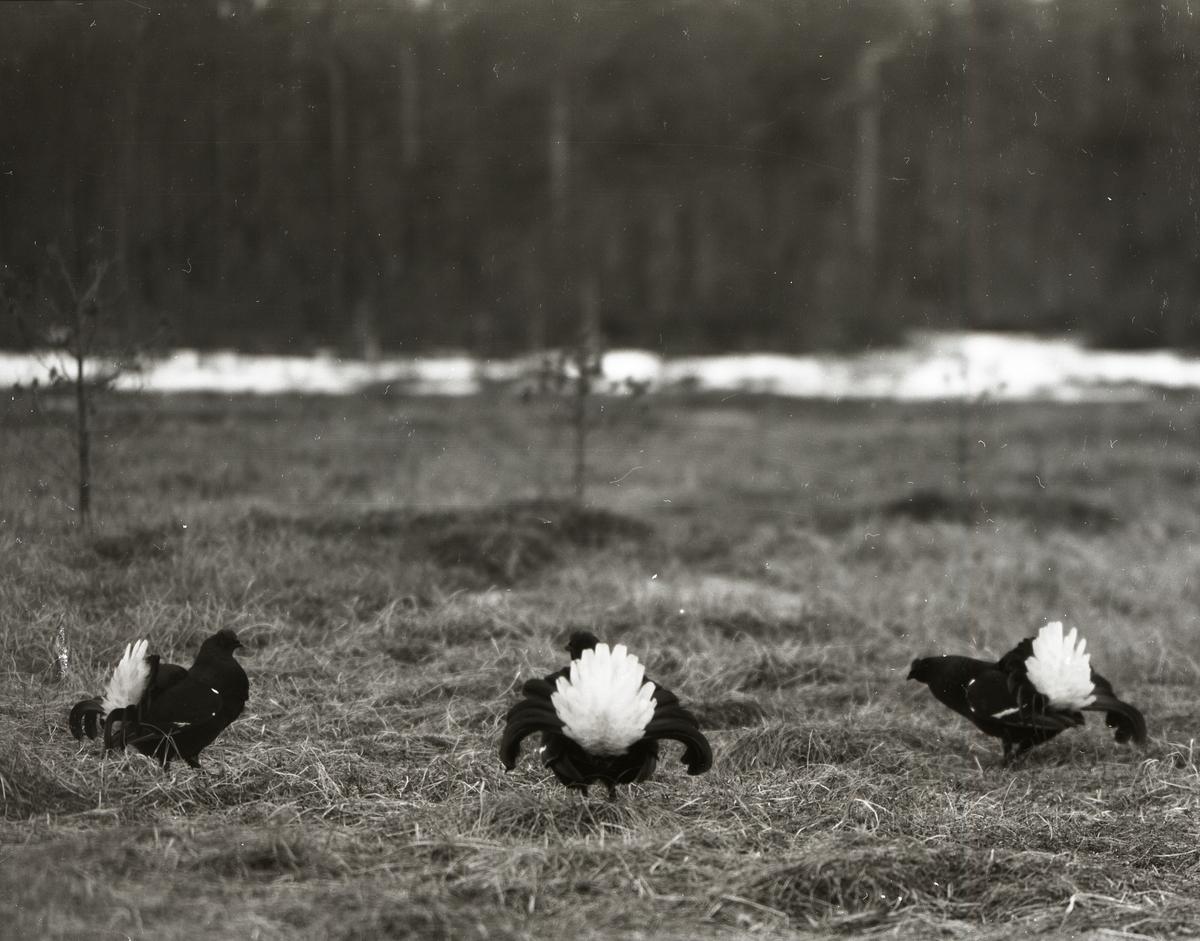 Tre orrar spelar på gräsmark framför skogen 18 april 1954.