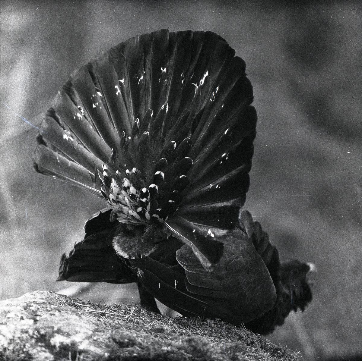 En tjäder med utbredda stjärtfjädrar står på en sten den 12 maj 1959.