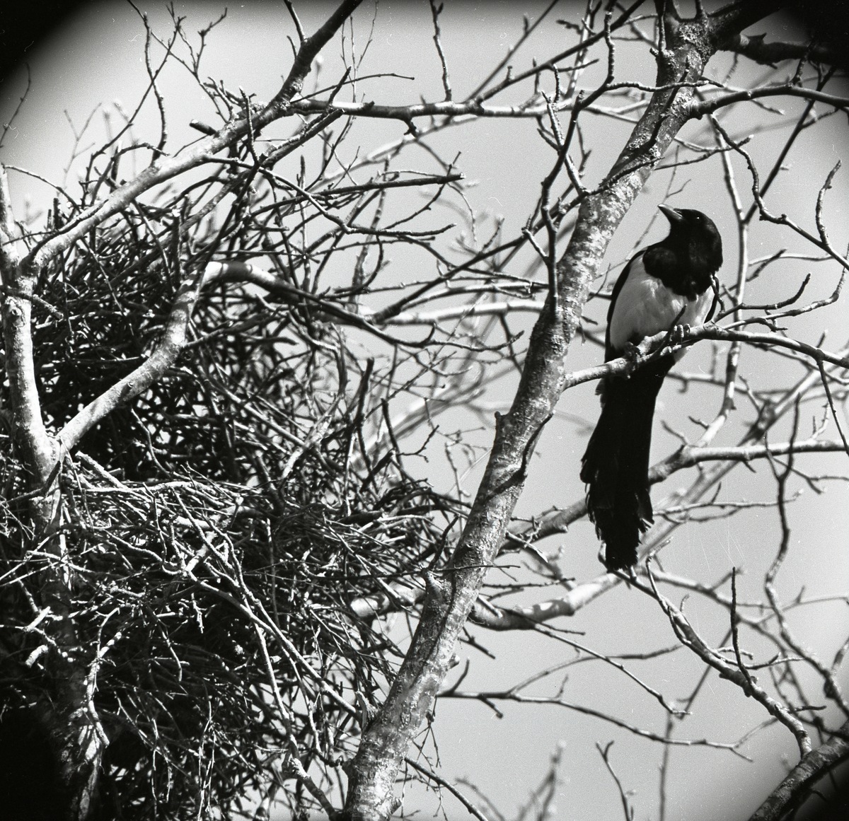 Skata vid sitt bo i ett träd 15 maj 1958.