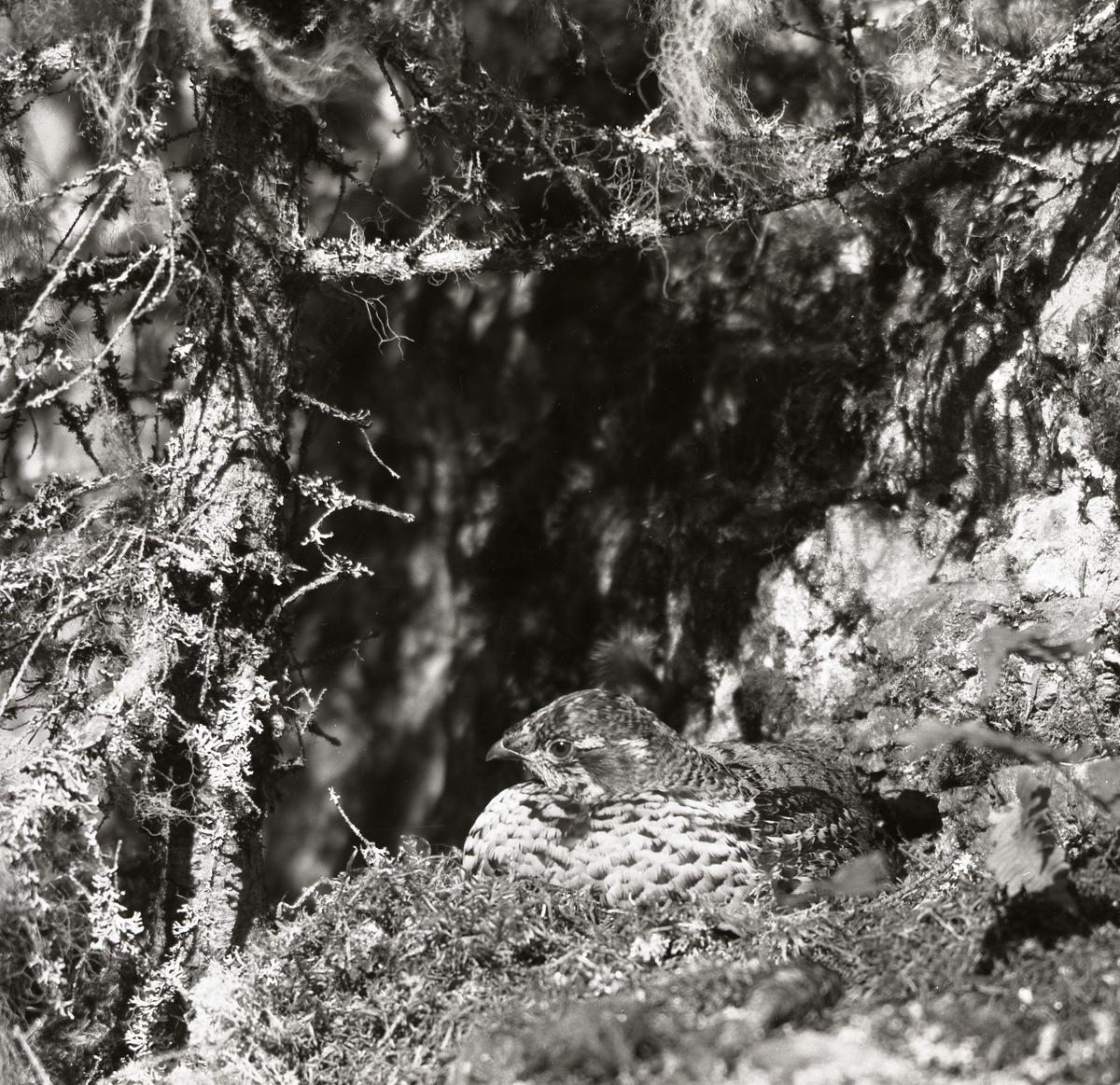 Ruvnde Järpe ligger i boet blad grenar med skägglav, 25 maj 1954.