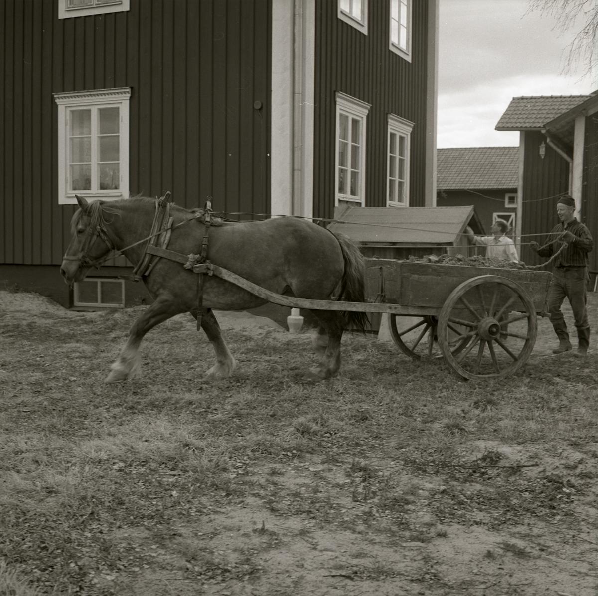 En man kör en häst med vagn på gården Sunnanåker, 1971.