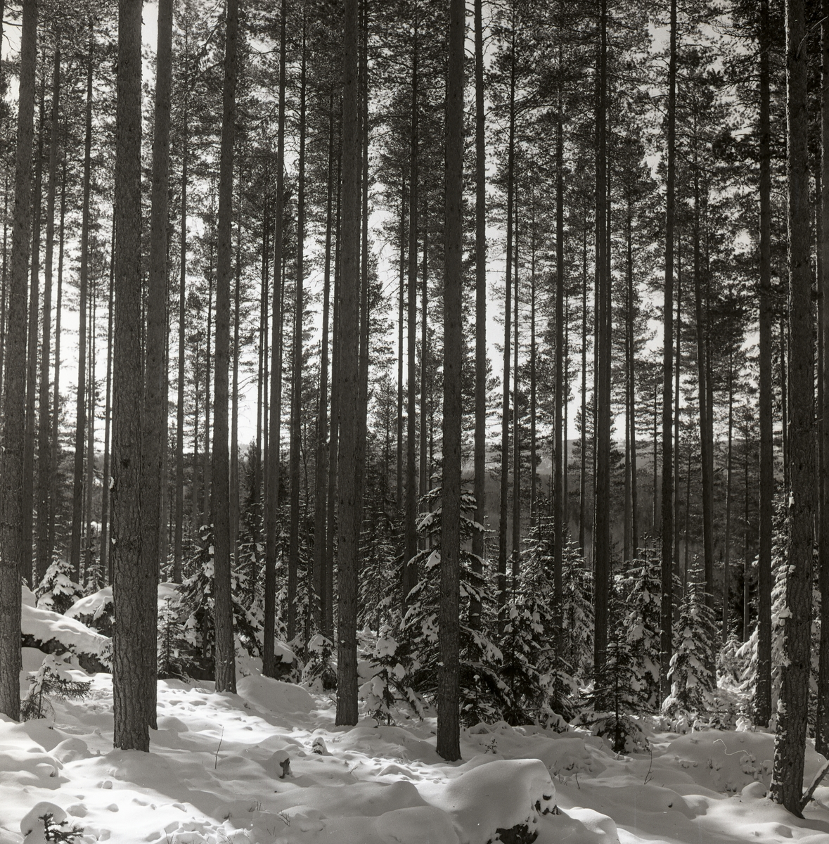 Tallskog och små granar i snö, mars 1961.