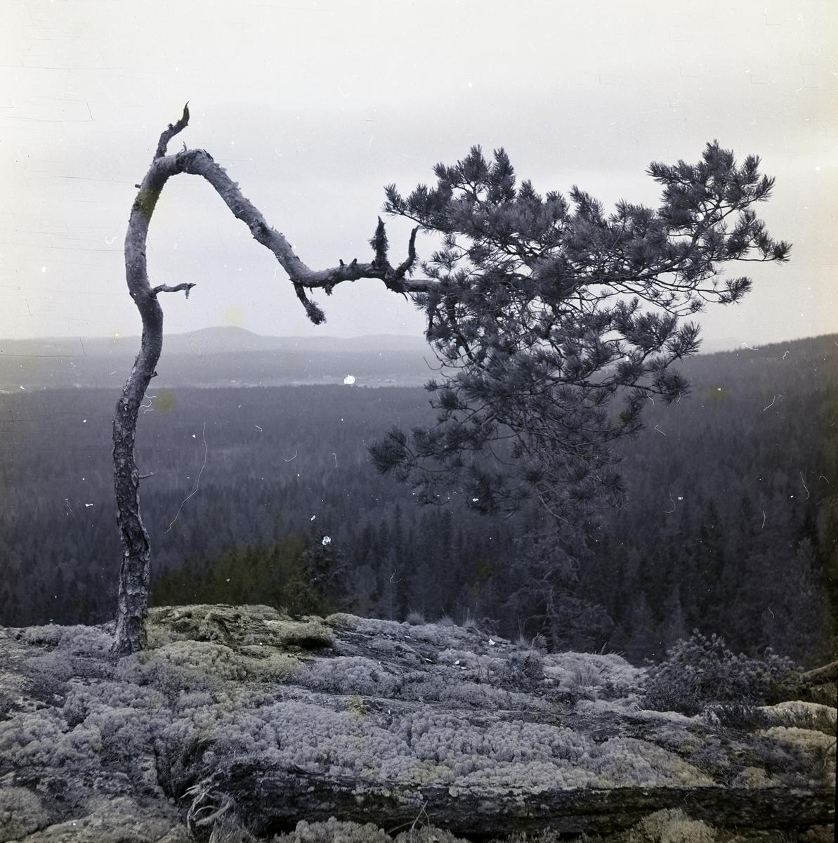 En kroktall på Skogsberget den 14 april 1952.