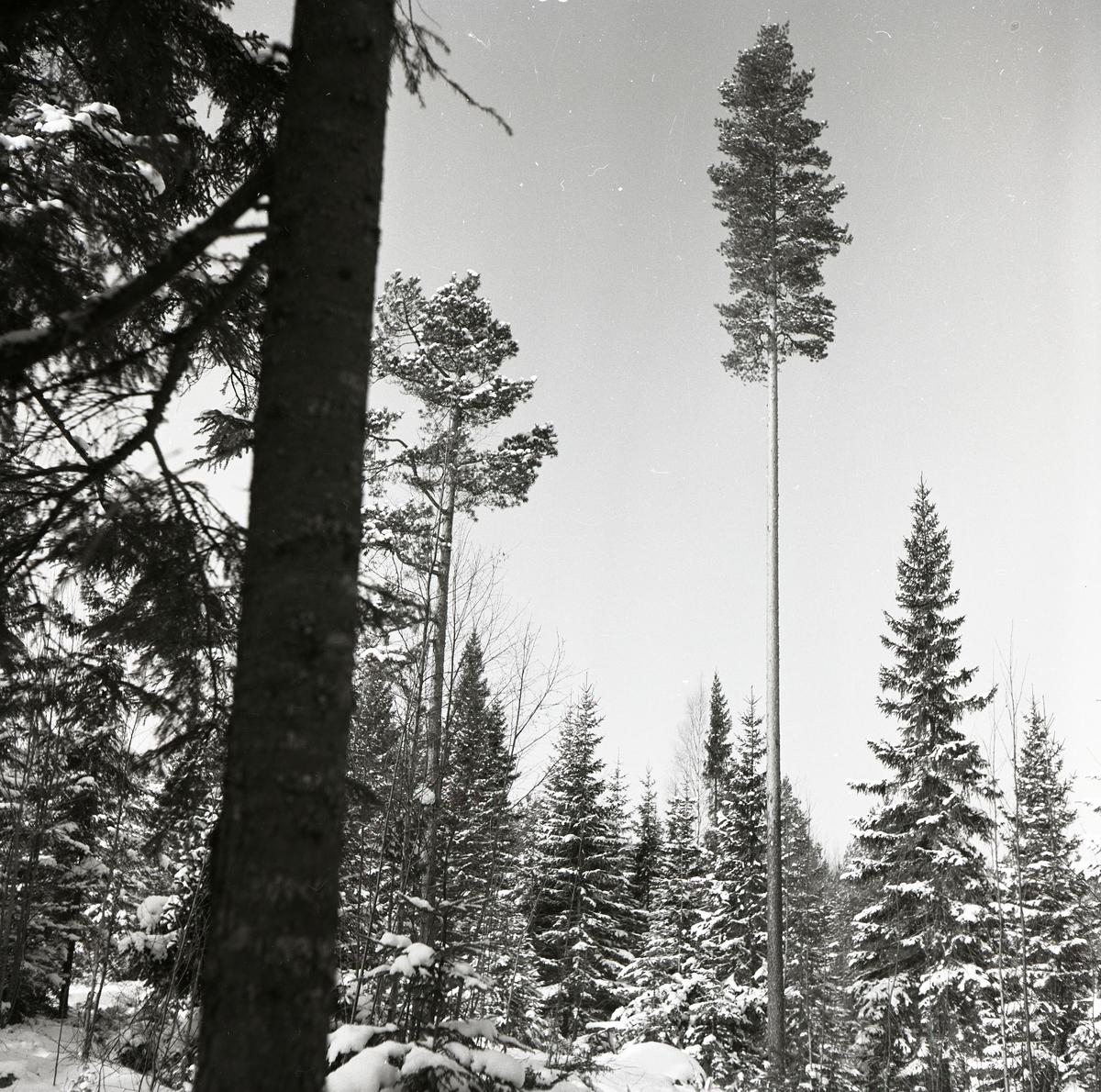 En lång tall på ett skifte med snötäckt granskog, 23 mars 1953.