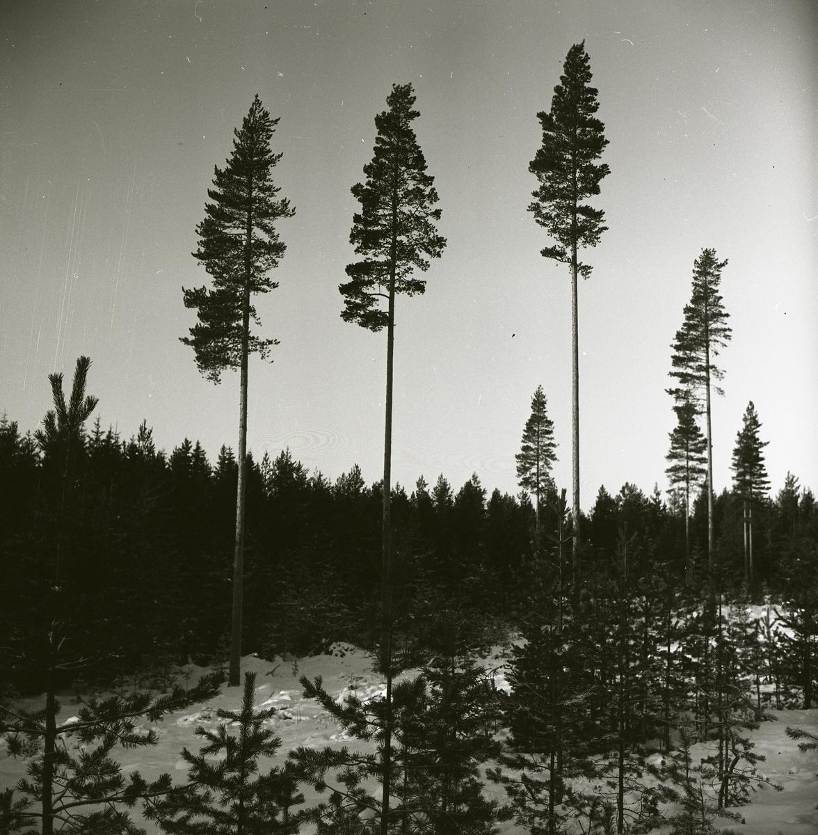 Tre höga frötallar intill en granskog, december 1964.