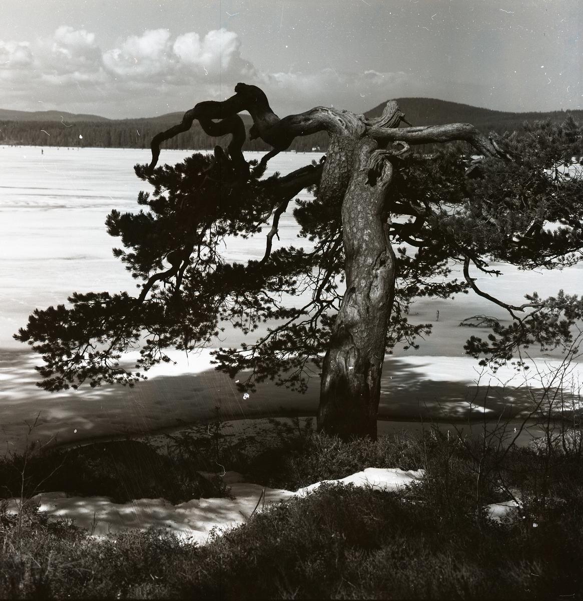 Ett stort träd med delad topp intill en sjö, 22 april 1957.
