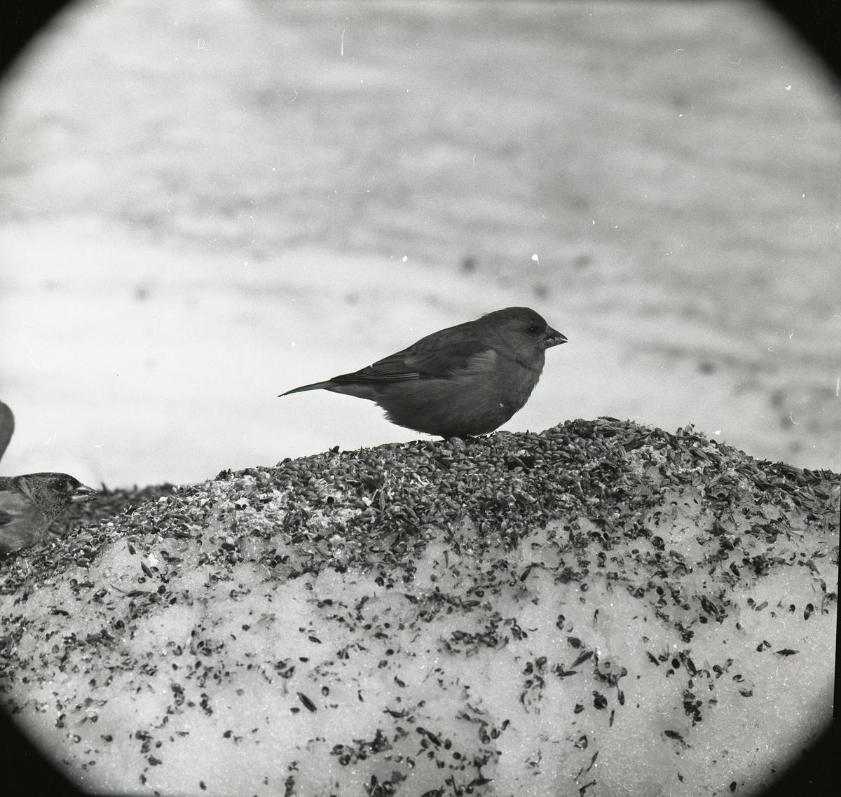 En grönfink sitter i snön som är täckt med fågelfrön under våren 1967.