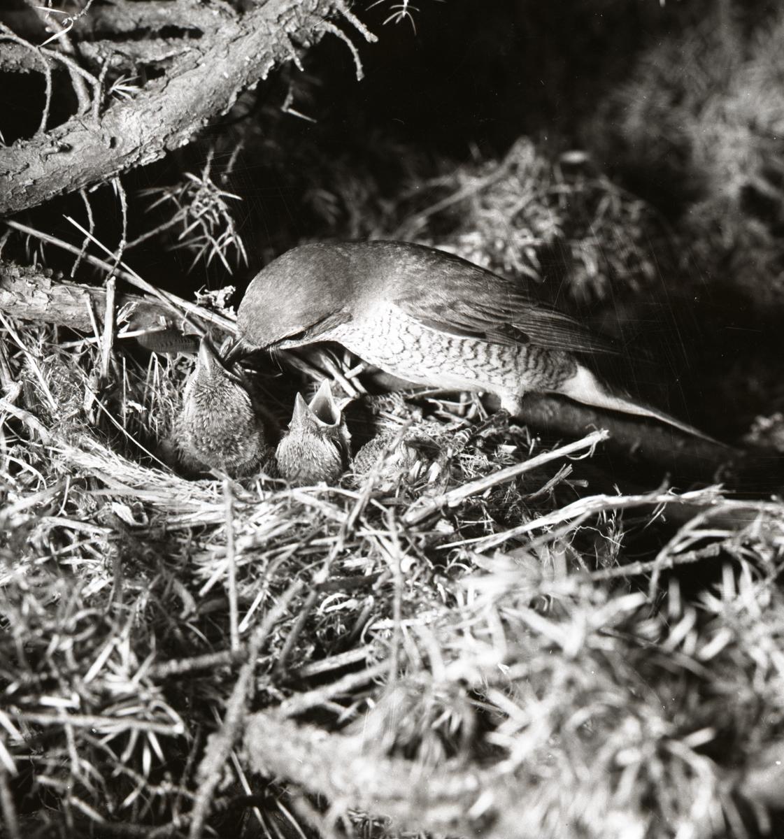 En törnskata matar sina ungar, 1955.