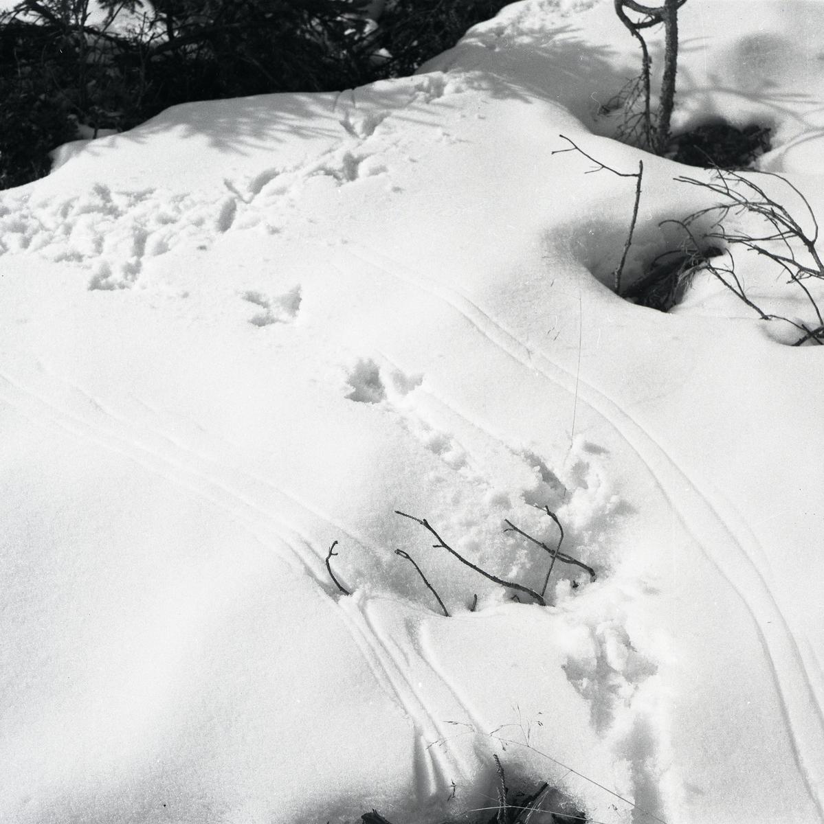 Spår från spelande tjäder i snön, 2 mars 1954.