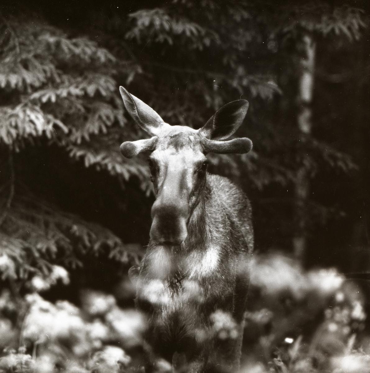 En älg i skogen vid Nybovallen, 5 juli 1955.