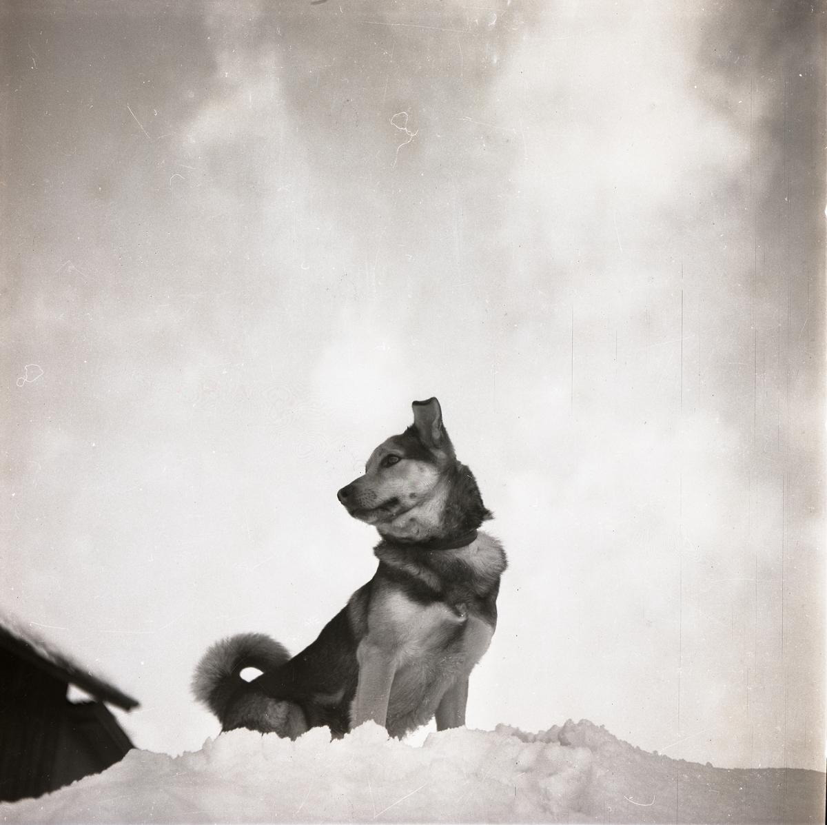 En hund sitter på en snöhög, 12 februari 1951.