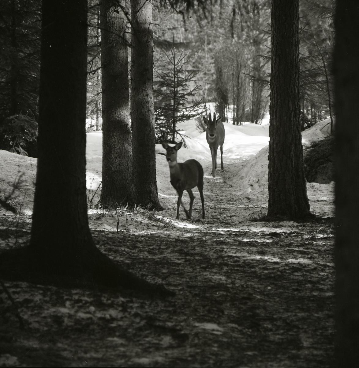 Två rådjur går i skogen vid Bullerberget, 28 mars 1982.