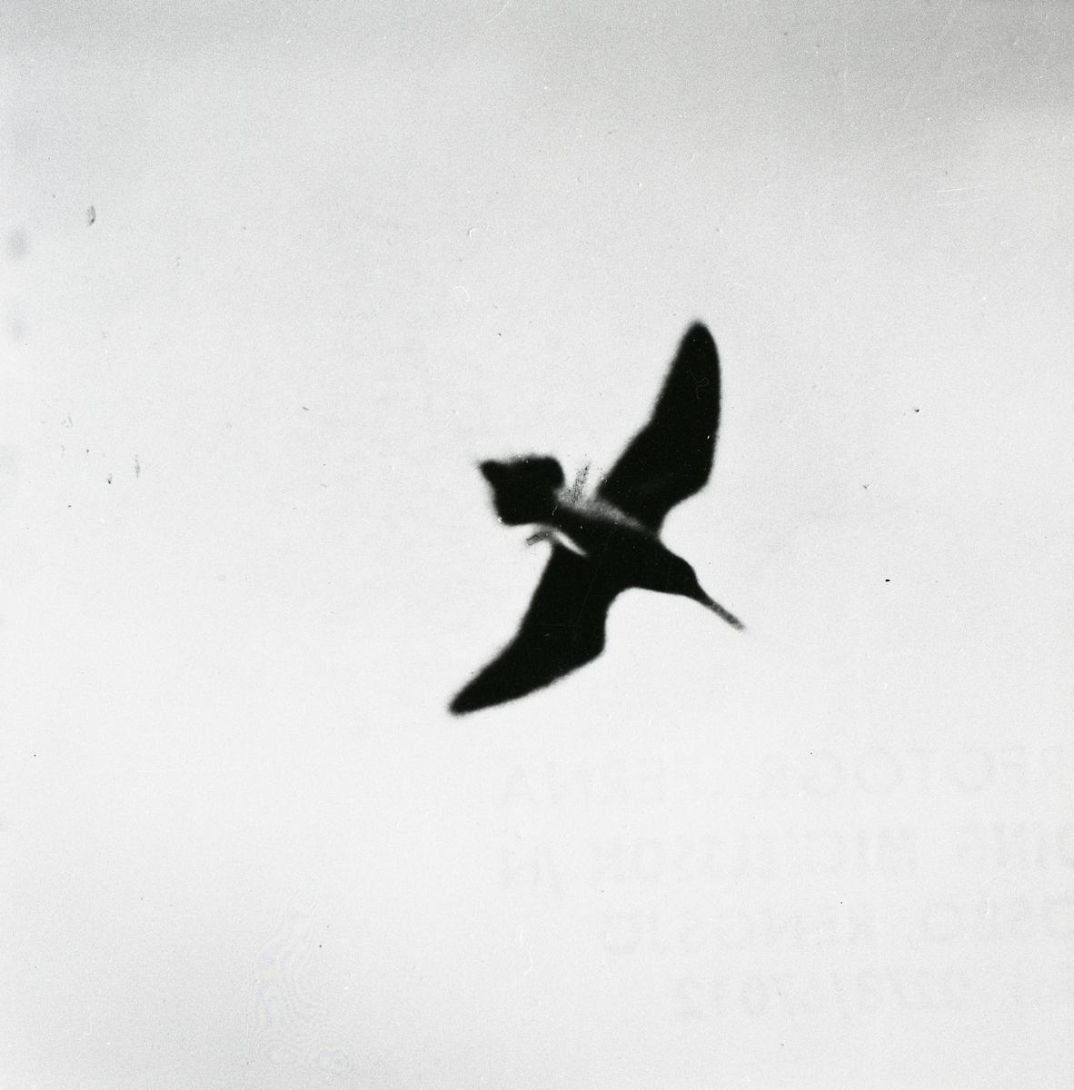 En flygande enkelbeckasin, 1968.