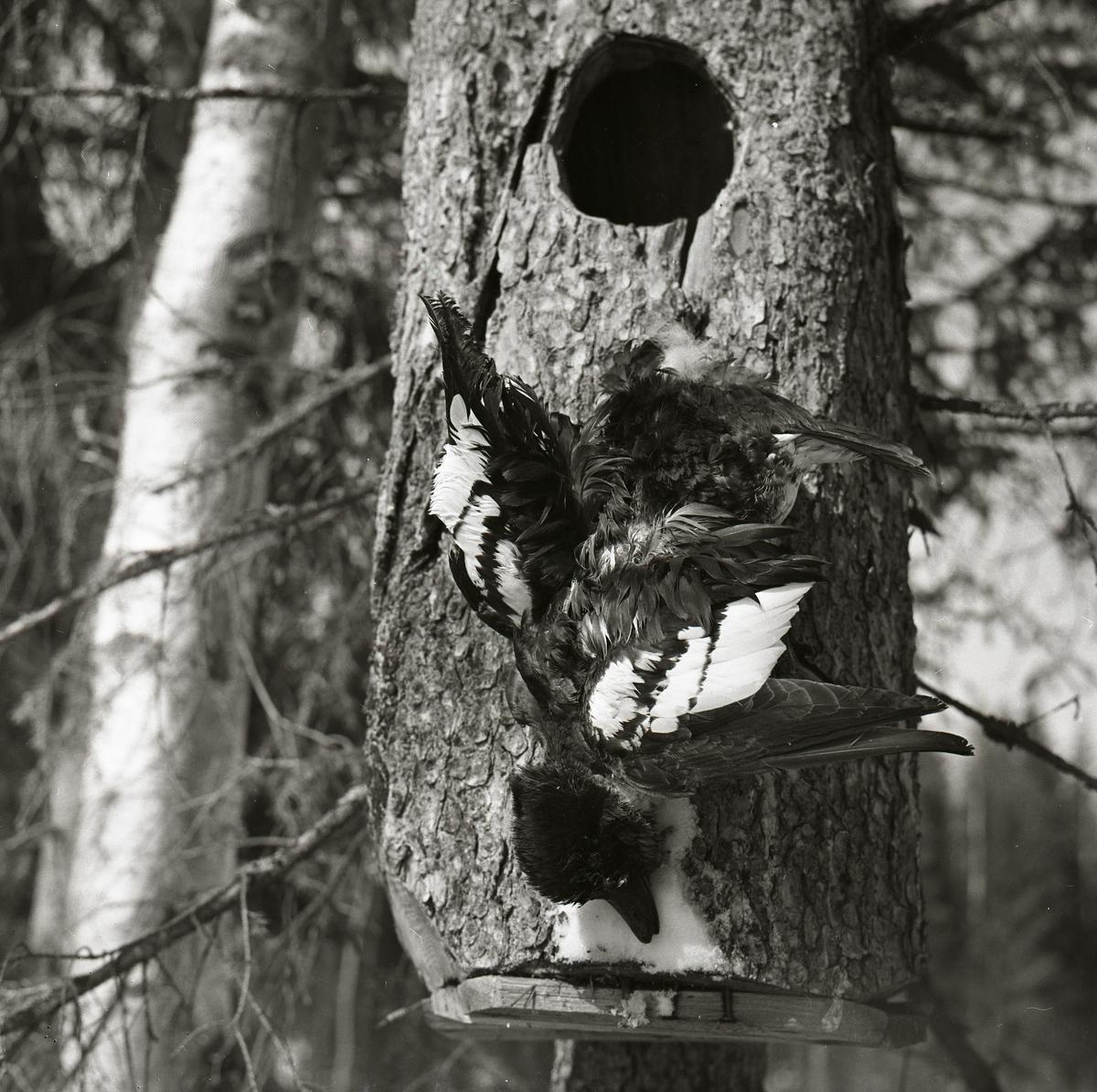 En död knipa hänger nedanför öppningen till en fågelholk vid Ottsjön, 12 april 1959.