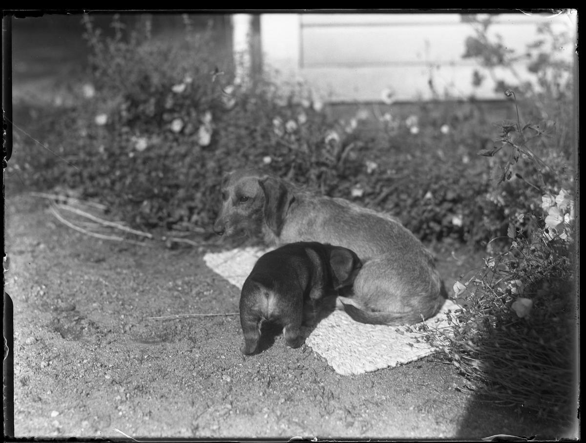 """En taxhona och hennes valp ligger på en filt utomhus. I bakgrunden syns en blomsterrabatt. I fotografens anteckningar står det """"Ing.[enjör] Bergs hundar..."""""""