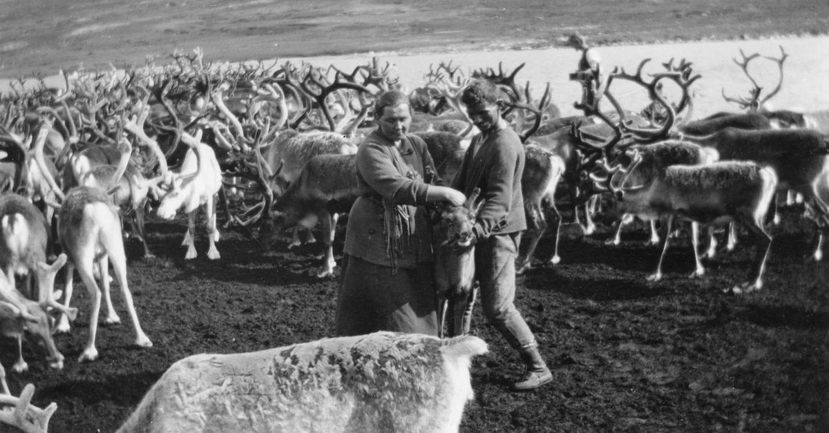 Märtha og Johan Renander kjevler reinskalv.