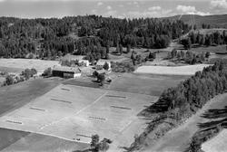 Haug  1955