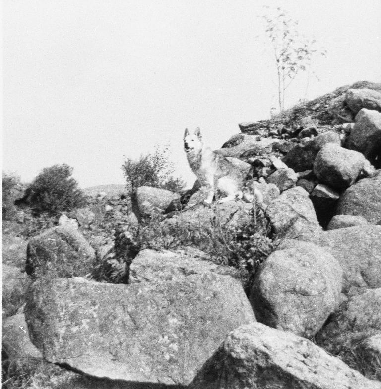 Buhunden Prins i steinrøys på Ree. Eigar er Kjellaug Bergene (1949 - ), dotter til Johan O. Bergene.