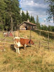 Ku på sætervangen, Skålbergsætra (Foto/Photo)