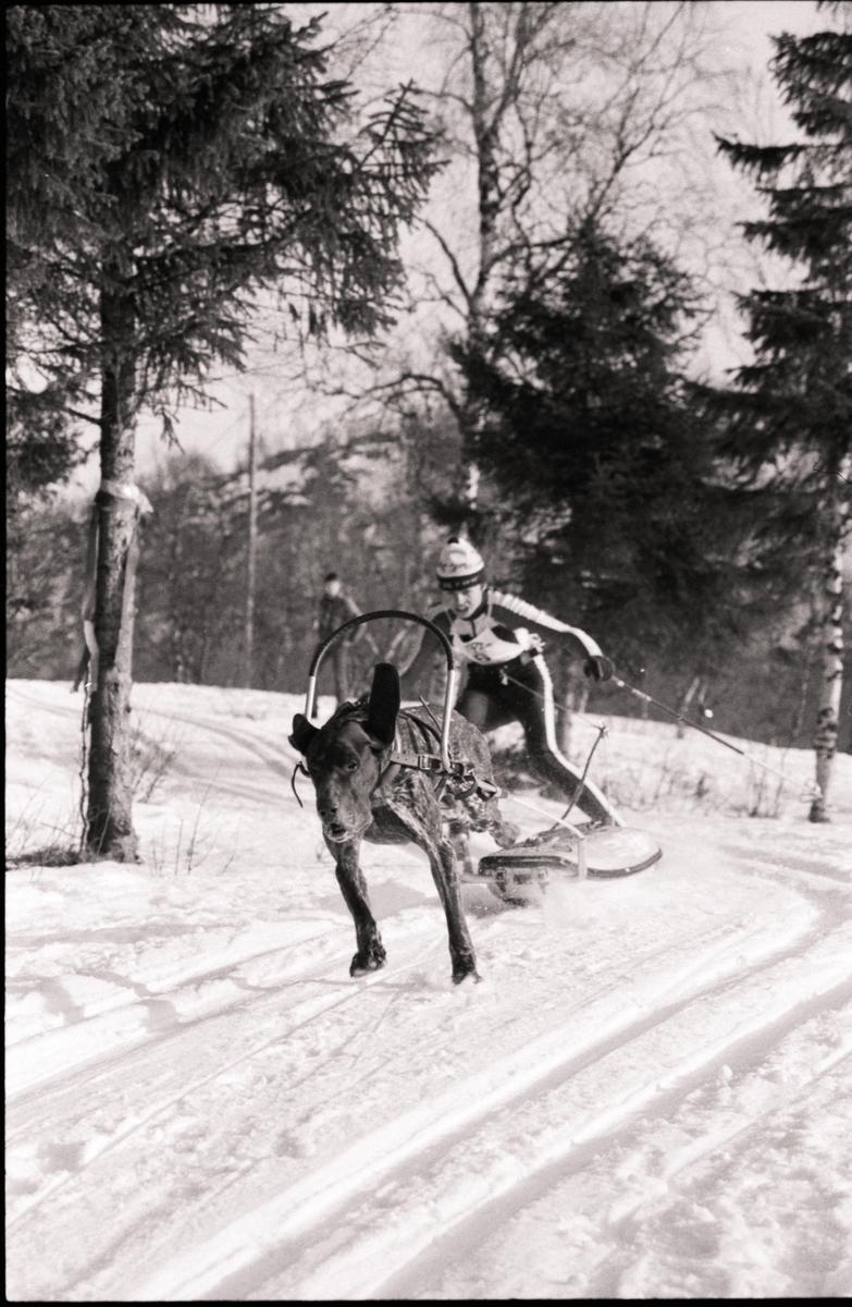 Skiløper med hund.