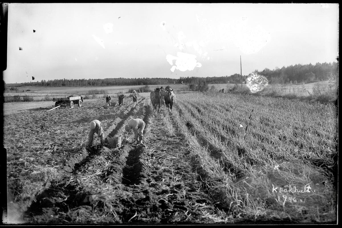 Potatisupptagning på Kråkhult i Ransberg