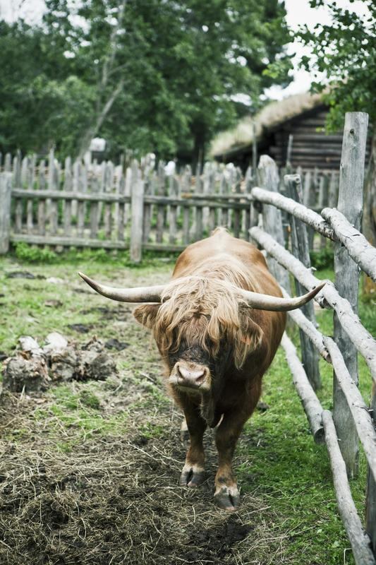 Farm animal, Sel 2009 (Foto/Photo)