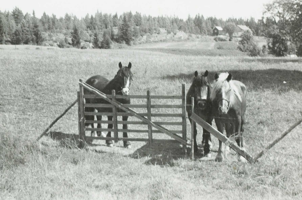 Hester på beite