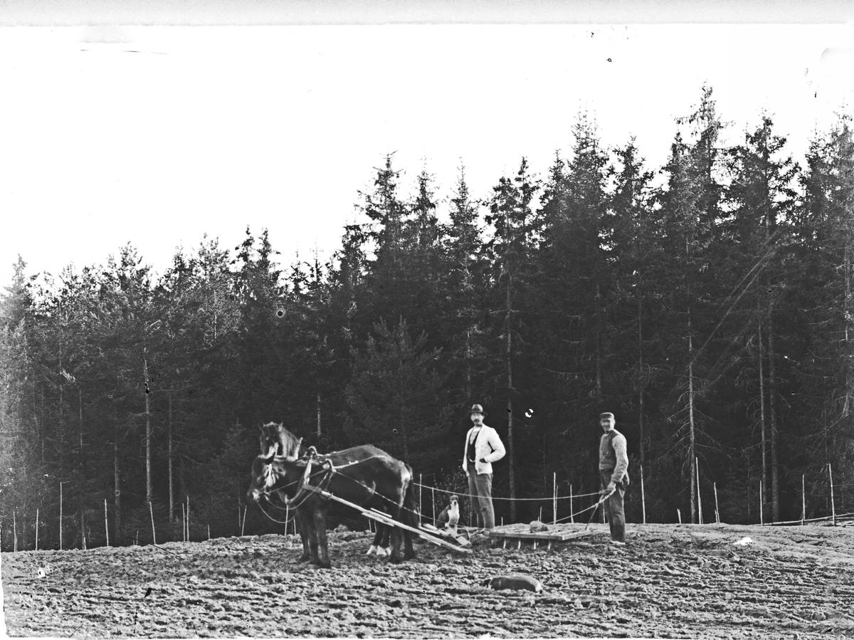 Alf Toftner til venstre. Hestene drar kroktinnharv