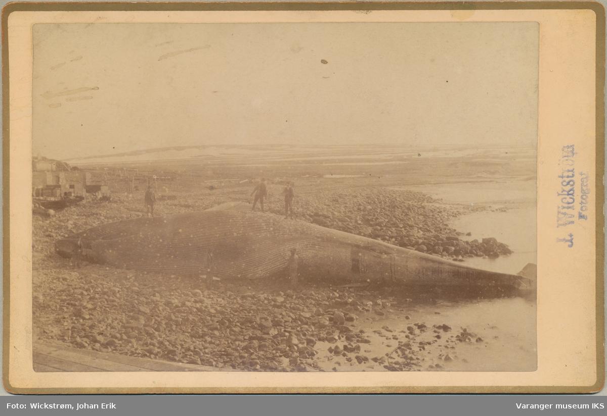 Hvalfangst på Svartnes, ca. 1883-1897