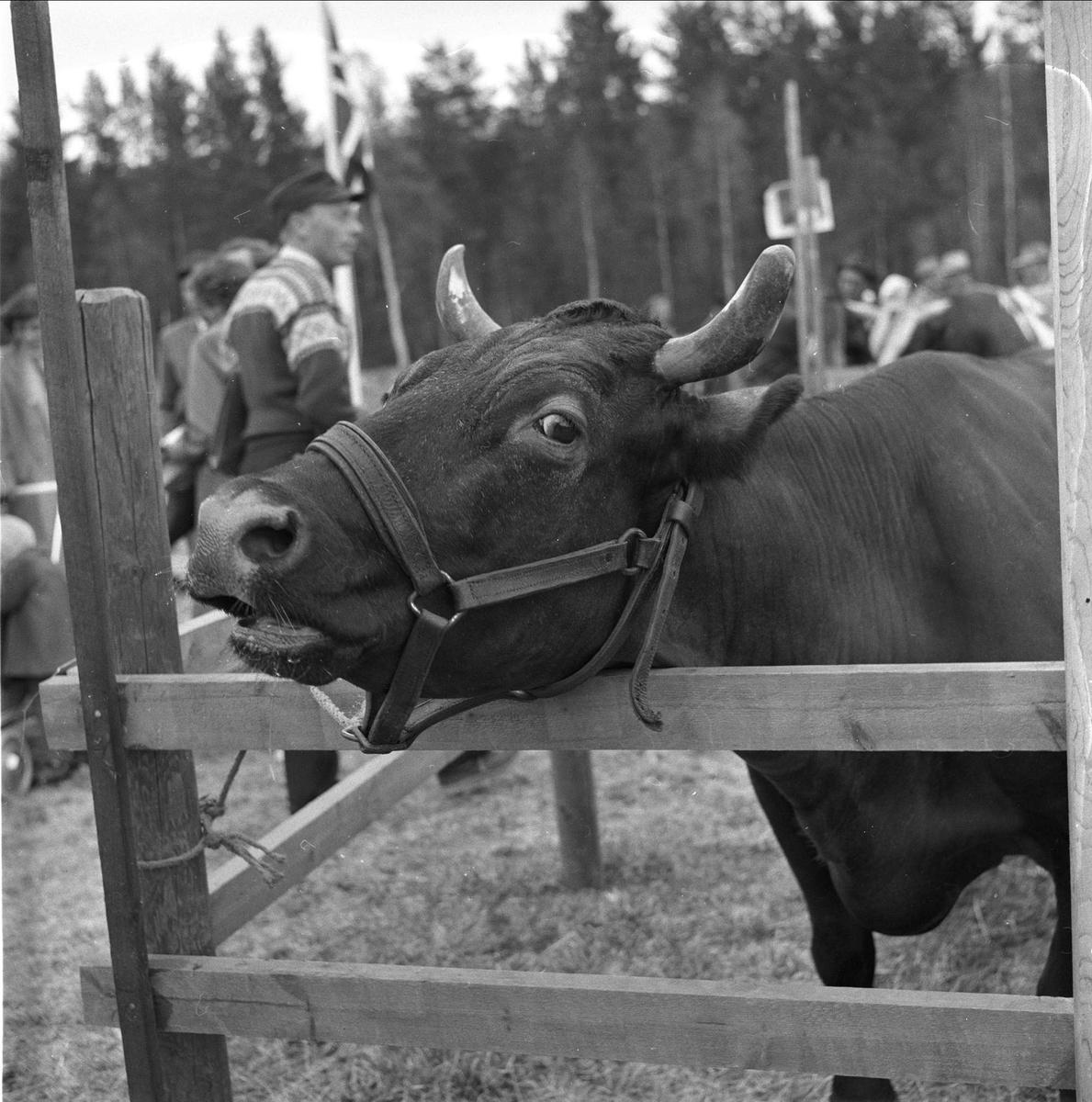 Tolga, Hedmark, 14.08.1958. Fesjå. Ku.