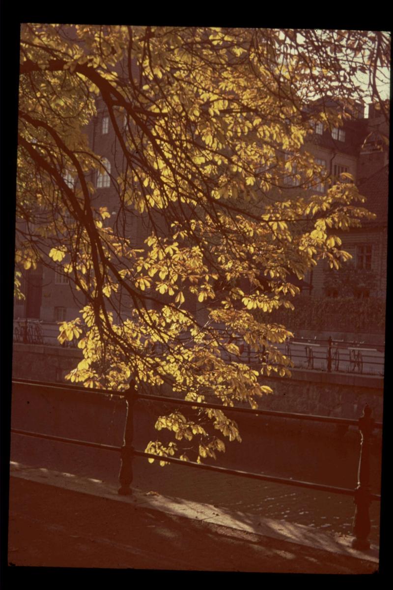 Höstfärger i träd vid Fyrisån, Uppsala 1945 - 1950