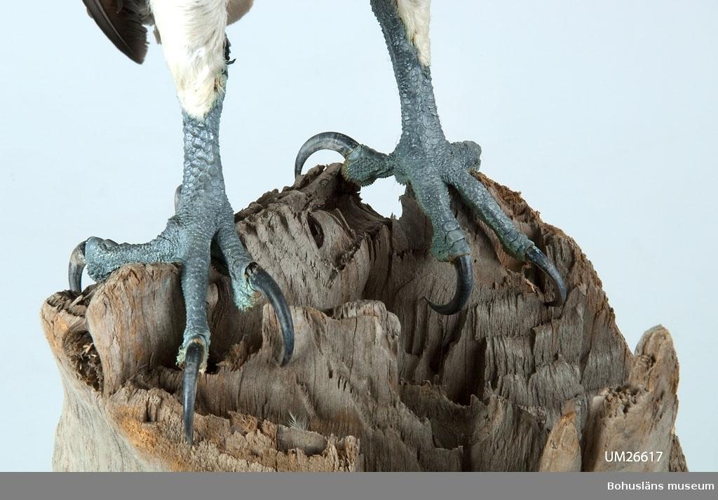 Gammal hona. Dödad mot kraftledning vid Orrekläpp, Tanums socken, Bohuslän den 8 juli 1996. Tillhörde kronans vilt. Museet fick tillstånd av Naturvårdsverket att behålla fågeln. Beslut 1997-06-02 Dnr 415-2286-97 Nv.  Monterad i december 1997 av Carl Jentzen, Hedekas.