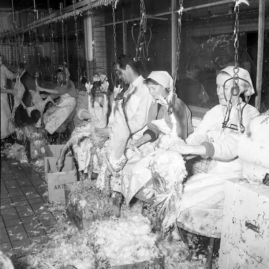 Plockning av gäss i Uddevalla den 8 november 1955