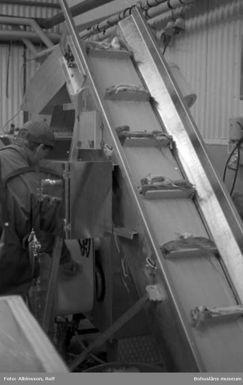 """Enligt fotografens noteringar: """"Här transportbandet som för upp den rentvättade fisken till skinn & benseparatorn. Erik Jonsson på bild."""" Fototid: 1995 den 16, 24 november och 11 december."""