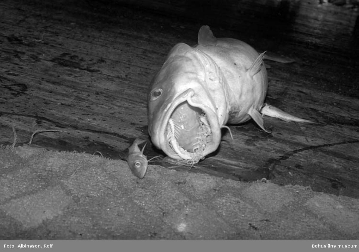 """Enligt fotografens noteringar: """"Den """"pene"""" torsken igen.""""  Fototid: 1996-03-06."""