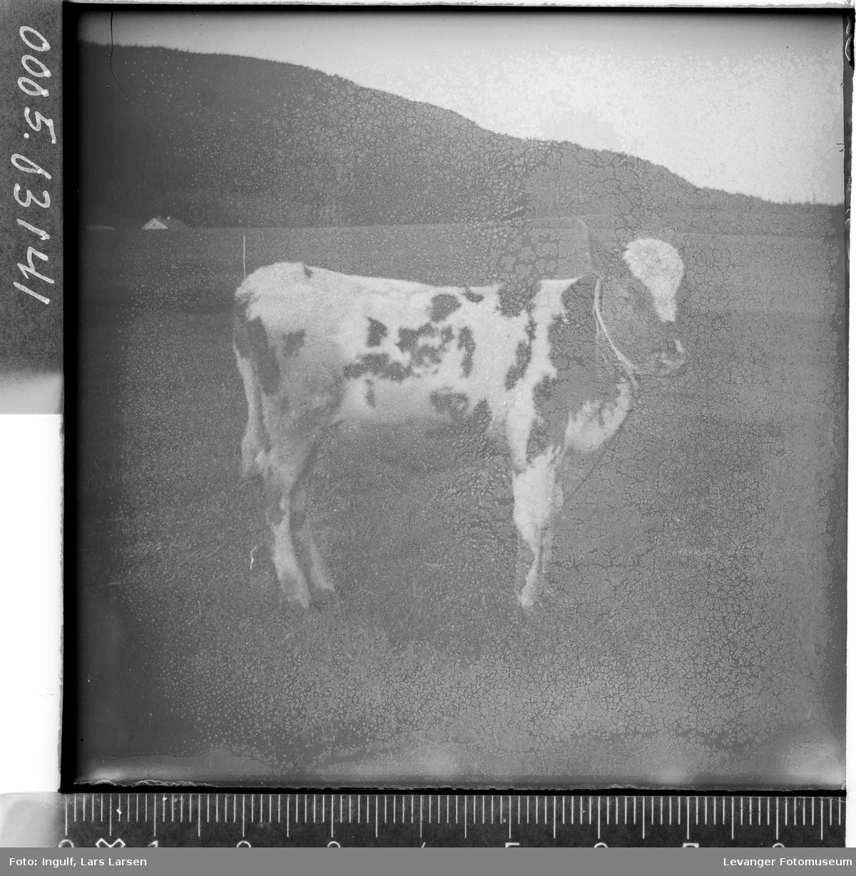 En kalv av typen sidet trønder-nordlandsfe.