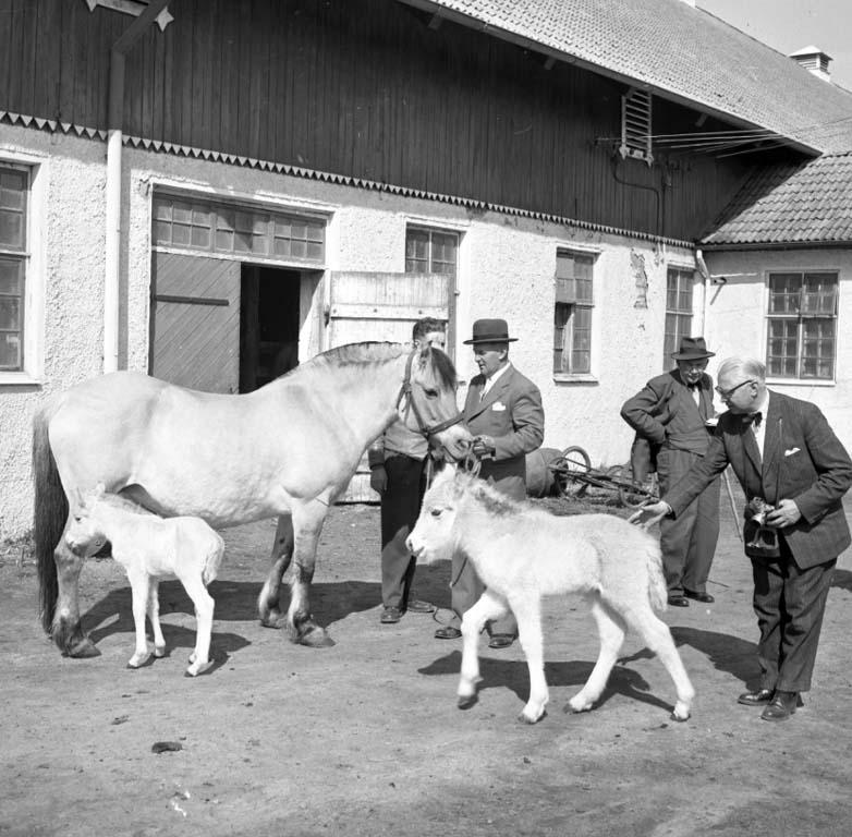 """Enligt notering: """"Fjordhästar Tosbergs Gård 20/4 -60""""."""