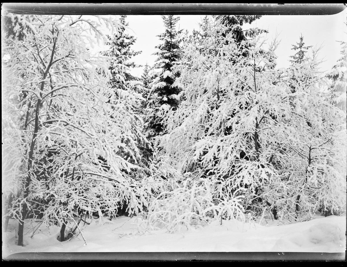 Vinterlandskap. Snødekkede trær i en skog.