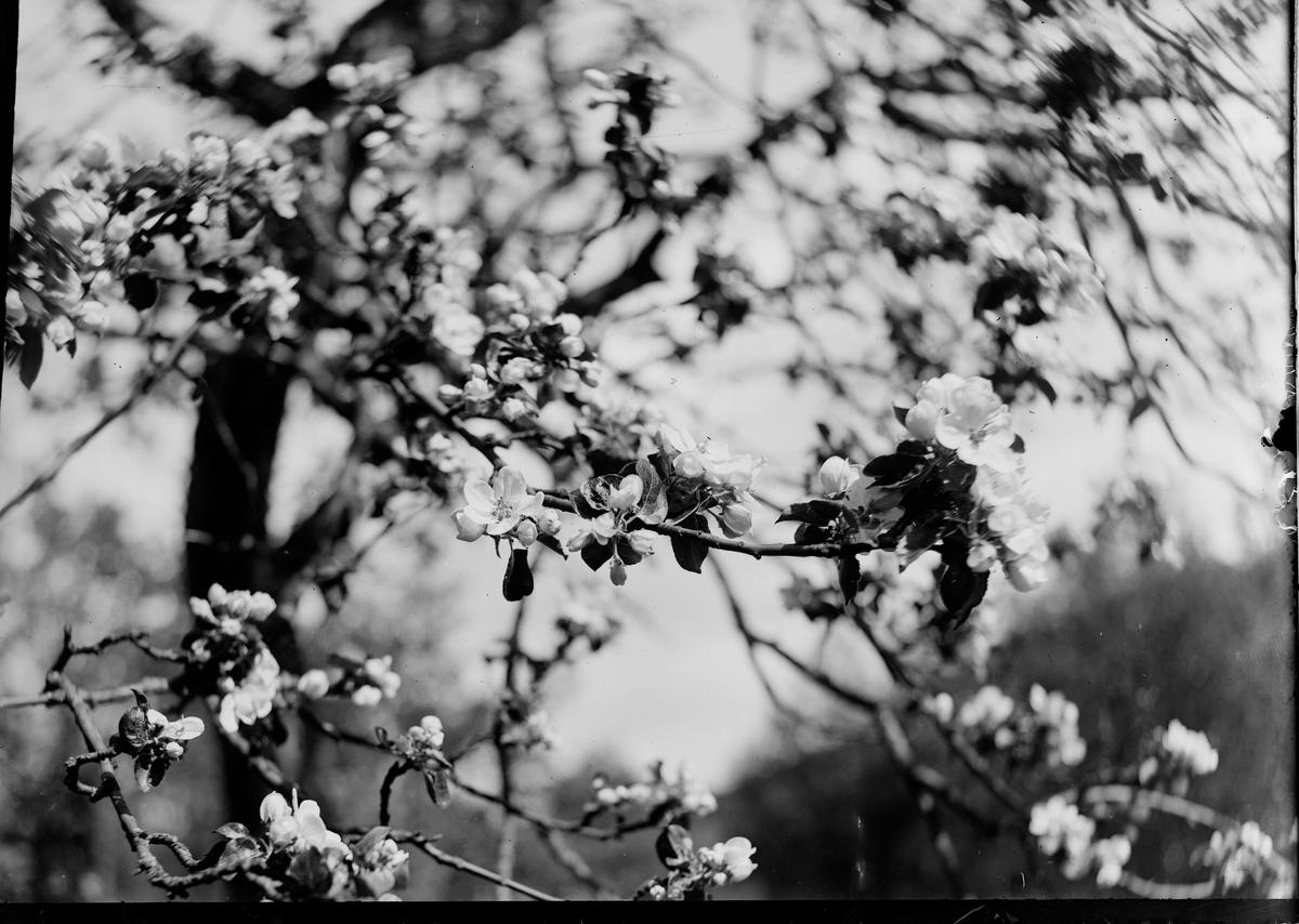 Nærbilde av et blomstrende frukttre.