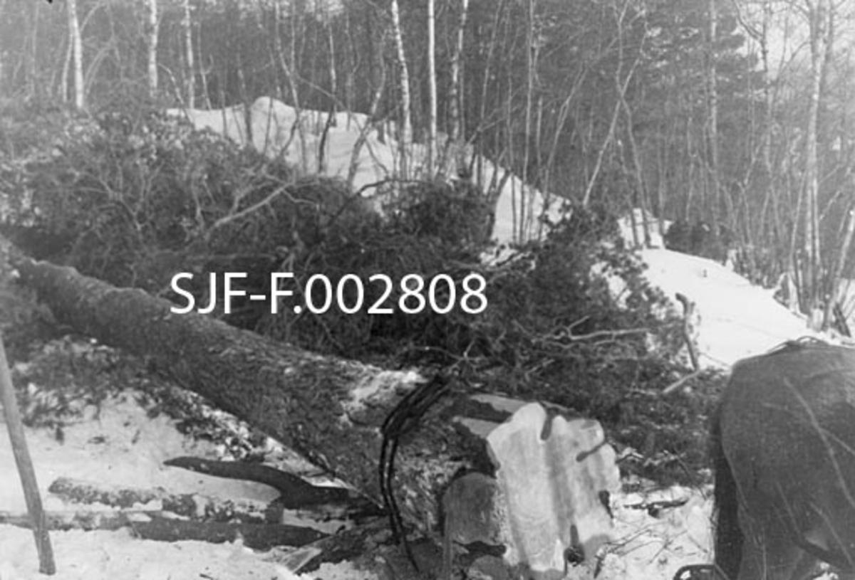 """Vinterbilde med uvanlig diger furustokk som er plassert på framsleden fra en tømmerrustning (på Østlandet ville den vært kalt """"bukken"""") med sikte på framkjøring.  På sleden var det en bank som romsdølene kalte """"dragås"""", og som var utstyrt med en jernkam med 2-3 centimeter lange tagger.  Stokken ble festet til denne dragåsen ved hjelp av """"rossmålreip"""", et solid tau som var lagd av lær fra kvalross.  Tauet var innsatt med ei blanding av kokt dyrefett og litt tjære for å oppnå nødvendig smidighet. Umiddelbart bak stokken på dette fotografiet ligger det en del bar etter hogsten.  Bakenfor barhaugen igjen ser vi en snødekt bakkekam med bjørkekratt, og bakenfor dette igjen aner vi en tett barskog."""